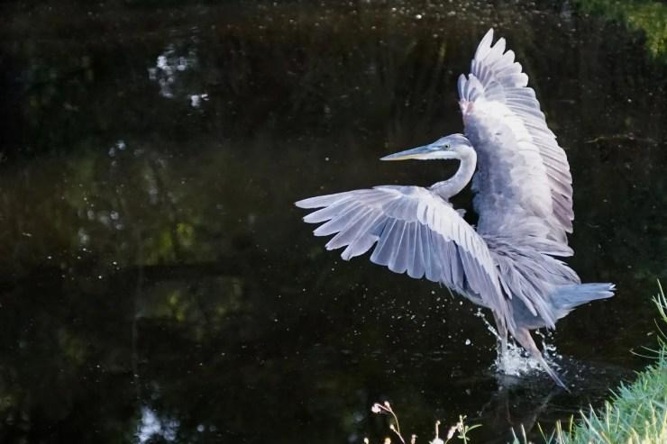 09 Heron