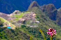 72 machu picchu flower