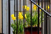 13 stoop daffodils