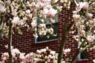 14 dc magnolias