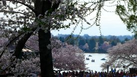 39 cherry blossoms tidal basil