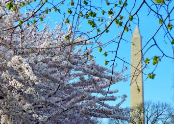 46 washington monument cherry blossoms