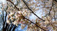 47 cherry blossoms