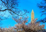 48 washington monument cherry blossoms