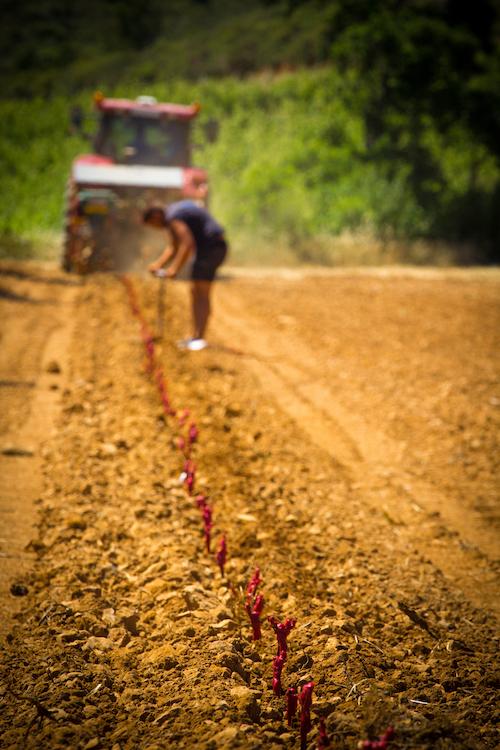 La plantation d'un plantier de vignes