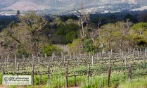 The vineyard during August, the southern hemisphere winter
