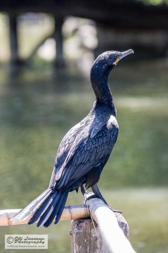 The plumage has beautiful patterns.
