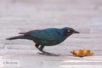 Cape Glossy Starling - Turkoosikottarainen