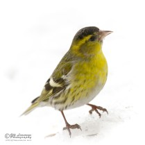 Mail siskin on the snow