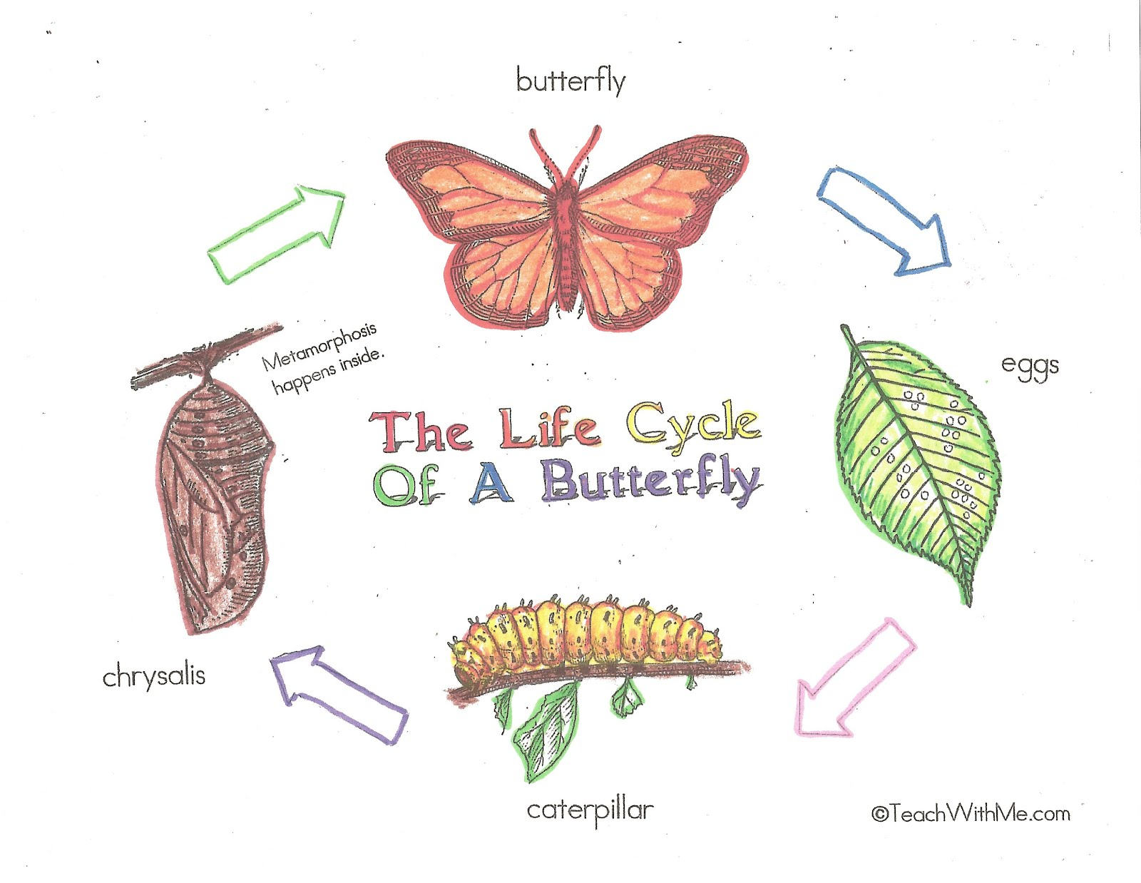 sea turtle life cycle diagram ho train wiring diagrams butterfly our lady of mercy catholic academy