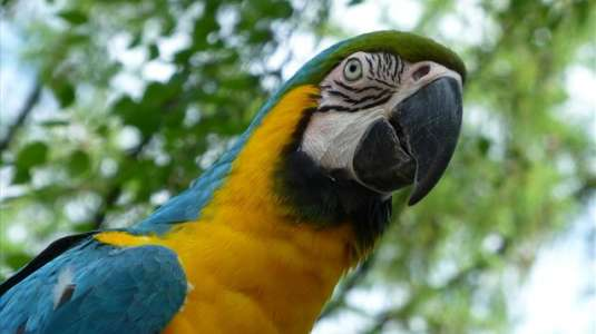 papagalos dolofonia