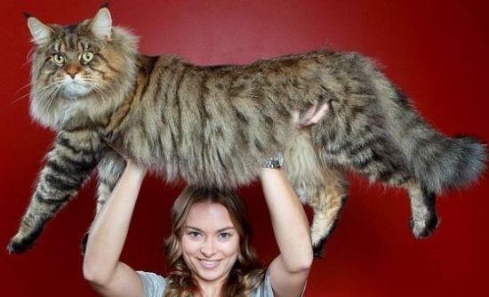 μεγαλύτερος γάτος του κόσμου
