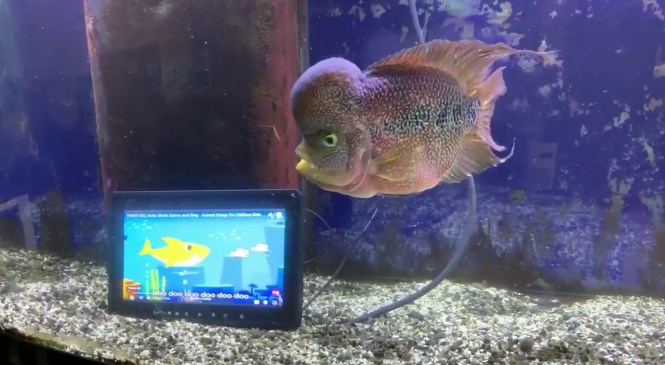 DEMO Waterproof 10.1 inch Automotive & Industrial grade display monitor submerged in Fish Tank