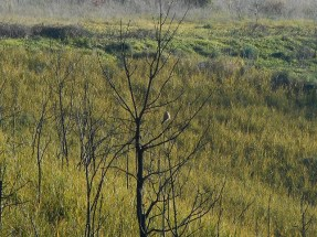 pineta-sacchetti-28-dicembre-2016-2-gheppio