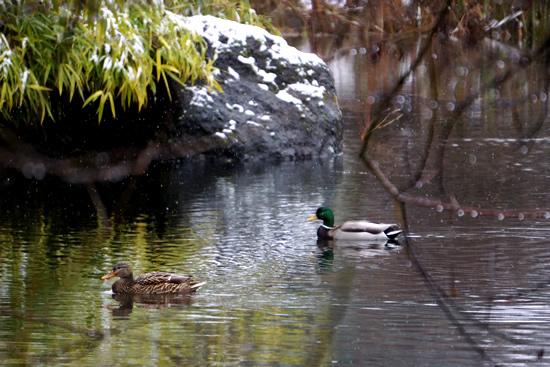 ducks_550w