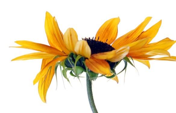 sunflower_650