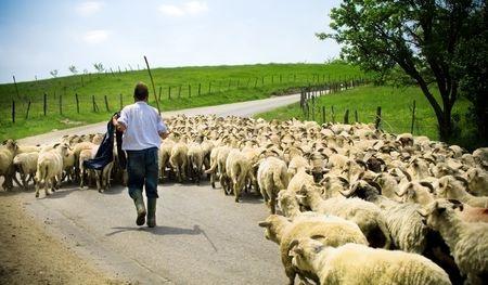 troupeau-de-moutons