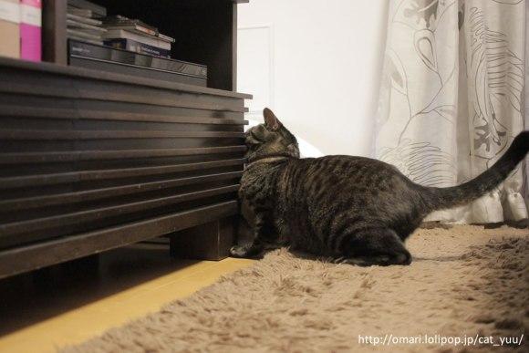 棚の脇からボールを取れないか確認しているキジトラ猫のゆう