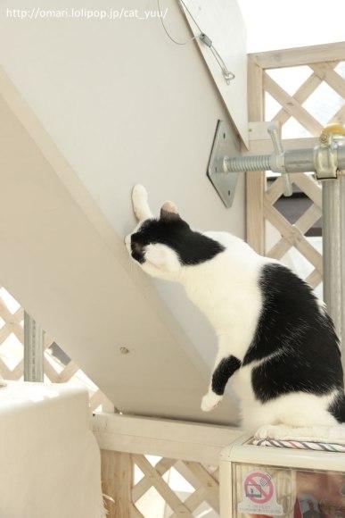 梁をじっと見つめるアシンメトリーハチワレ猫
