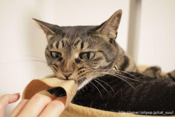 懲りずにガムテープにかみつくキジトラ猫のゆう
