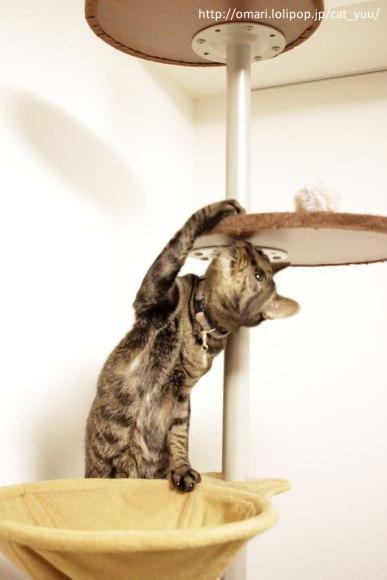 ボールに気づいたキジトラ猫のゆう