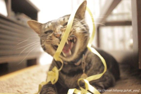 リボンに荒ぶるキジトラ猫のゆう