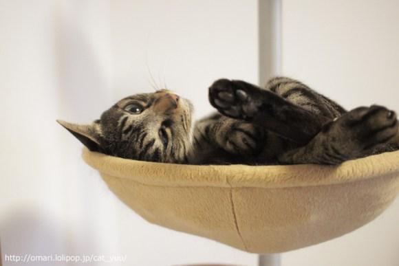 ハンモックでぶりっこのキジトラ猫のゆう