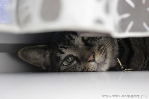 カーテンの奥にちらっと見えるキジトラ猫のゆう その3