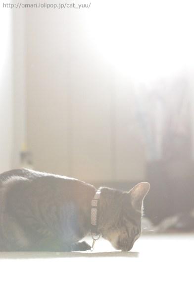 もう一度廊下のニオイを確認するキジトラ猫のゆう
