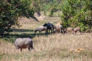 Wasserbüffel-Herde