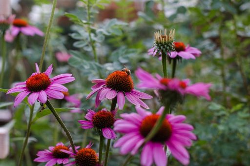 Echinacea with bee how to plant wildflowers