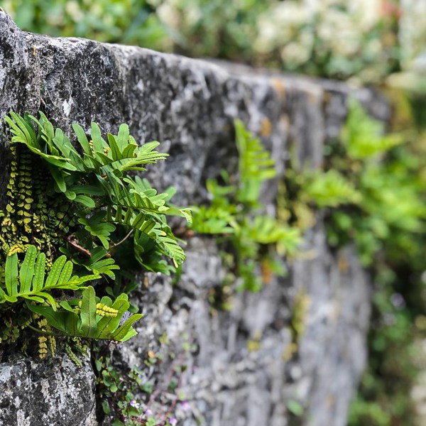Stone wall and fern in Ireland