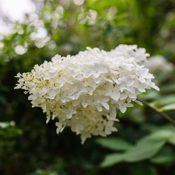 Hardy Hydrangea for Cold Climate
