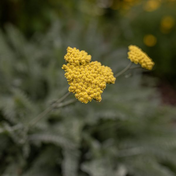 Drought Tolerant Moonshine Yarrow Plant for Xeriscaping