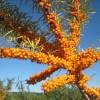 argousier cultivar sunny