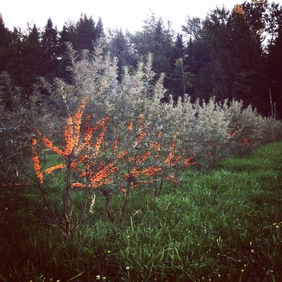 Sea buckthorn after harvest. Cultivar, Mary.
