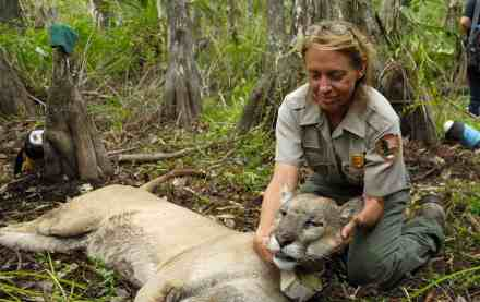 Wildlife biologest with moutain lion