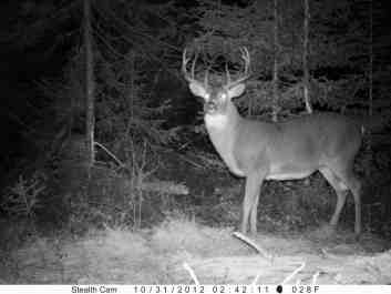 whitetail with large belly
