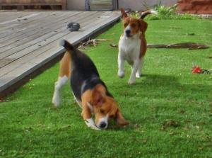 Omegaturf dogs playing beagles