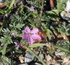 small-purply-flower