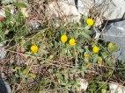 yellow-marigold-like-flower