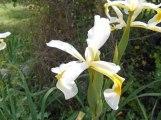 white-irises
