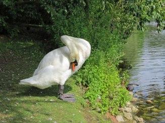 Swan at Kew