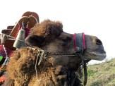 Camels2015B