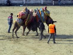 Camels2015H
