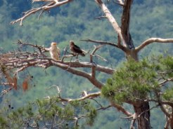 Egyptian-Vulture-and.....
