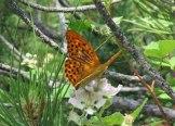 Kelebek-Dadia