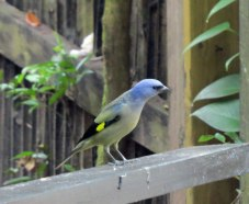 zoo-yellow-winged-tanager
