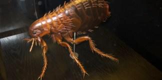 dermatite-alergica-a-picada-de-pulga