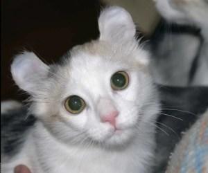 gato-curl-americano